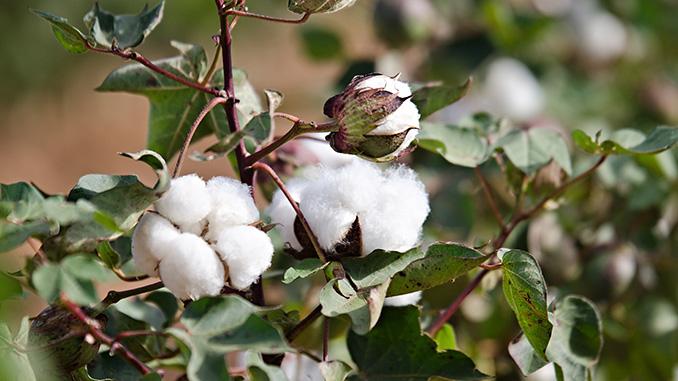 OLYMP setzt verstärkt auf nachhaltige Baumwolle